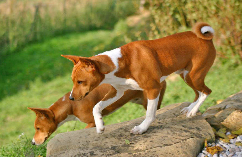 Apartment Dogs - Basenji