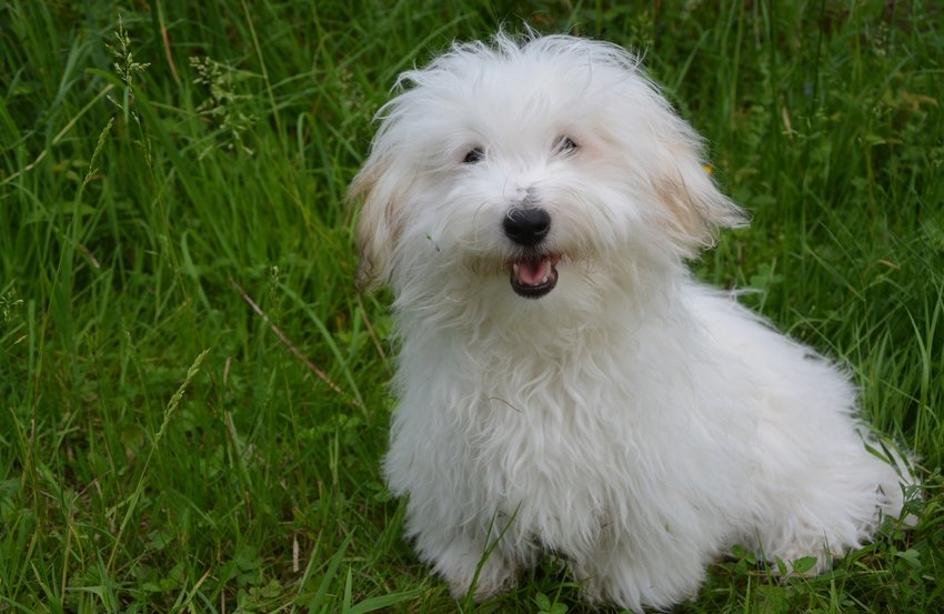 Apartment dogs- COTON DE TULEAR