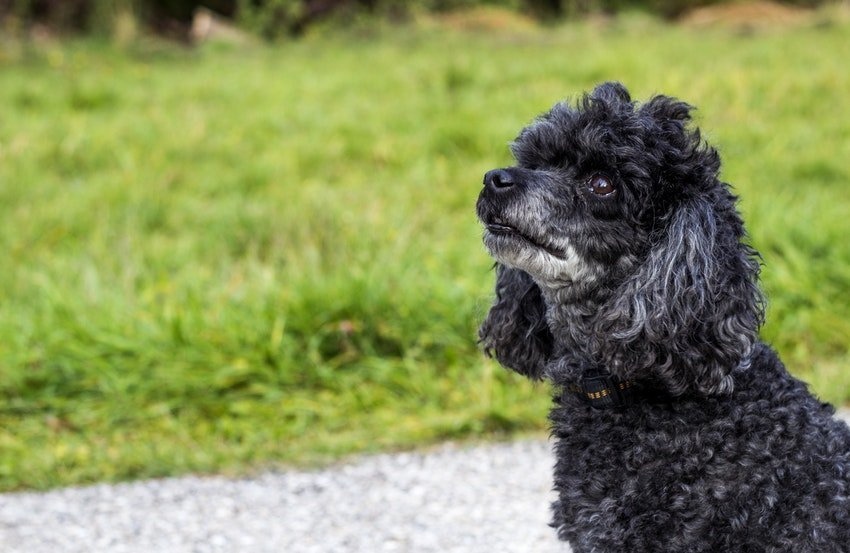 Apartment dogs - Dwarf Poodle