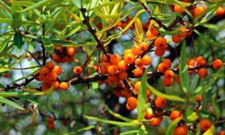 Discovering the benefits of Sea Buckthorn for good health